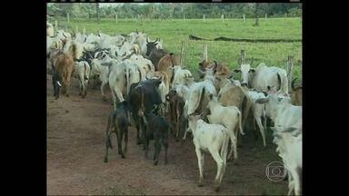 Começa a campanha de vacinação contra a febre aftosa em Rondônia - Começou em Rondônia a campanha de vacinação contra a febre aftosa. Cerca de cinco milhões de animais devem ser imunizados nesta primeira etapa.