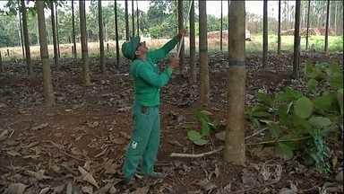 Cultivo da teca rende bons lucros em Mato Grosso - Os agricultores de Mato Grosso estão ganhando um bom dinheiro com o cultivo da teca. Segundo o agricultor, são 20 anos até a madeira ficar pronta para ser usada na indústria de móveis.