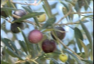 Caçapava do Sul se destaca na produção de Azeite de Oliva - Produtores apostaram na criação de oliveiras e investem na produção de azeite de oliva. Produção deve ser ampliada para atender a demanda do mercado nacional
