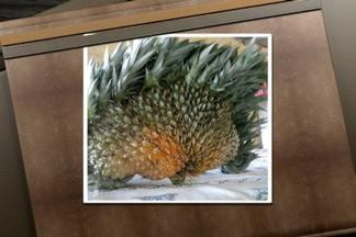 Distúrbio genético pode deixar abacaxi gigante e em formato de leque - Agrônomo explica que isso também pode acontecer quando a fase de florescimento do abacaxi coincide com períodos secos e de alta temperatura. A qualidade da fruta não é boa, pois o abacaxi fica muito fibroso.