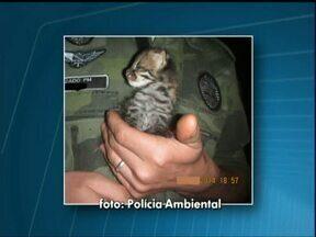 Policiais ambientais resgatam filhote de gato do mato - O filhote estava com boa saúde. Ele foi encaminhado para o Refúgio Biológico de Itaipu e depois será devolvido à mata