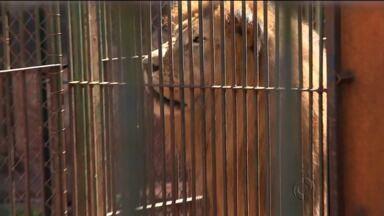 Leão que desapareceu em São Paulo é encontrado em Maringá - Animal estava em um centro de reabilitação de animais em Monte Azul Paulista, no interior de São Paulo.
