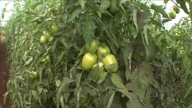 Plantações de tomate viram alvo de criminosos no Paraná - Os bandidos estão roubando os tomates ainda no pé. Produtores que tiveram suas propriedades invadidas calculam os prejuízos. Eles atribuem os roubos ao alto preço pago pelo fruto.
