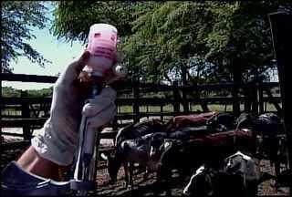 Termina no sábado (31) a campanha de vacinação contra a Febre Aftosa - No Sertão, apenas 30% dos criadores declararam a vacinação contra a doença.