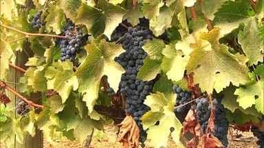 Rosas são usadas para proteger vinhedos e garantem a qualidade na produção de uva no Chile - Os chilenos cultivam uvas como quem cuida de um jardim. Antes de atacar o vinhedo, os insetos são atraídos pelos aromas, pelas cores das flores. Mais que beleza, elas são importantes para garantir qualidade na produção de uva.