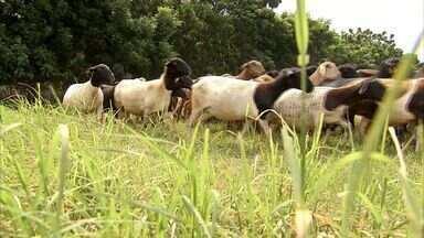 Após dois anos de seca forte, produtores conseguem estocar alimento para o gado - Índice de chuva no Ceará em 2014 ainda ficou abaixo da média, mas foi melhor do que nos anos anteriores.