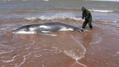 Filhote de baleia jubarte encalha e morre em praia de Aracruz, ES - Equipe ainda tentou salvar o animal, que morreu por volta das 10h30. Corpo será submetido à necrópsia e enterrado no local.