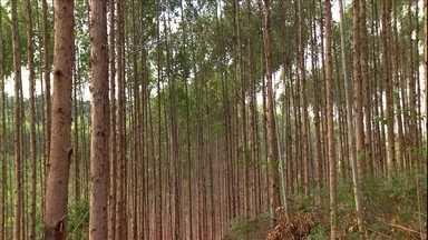 Mercado do eucalipto está em alta e melhora a renda de produtores do ES - Alta produtividade das árvores chama atenção na cultura. Espírito Santo tem 250 mil hectares de florestas de eucalipto.