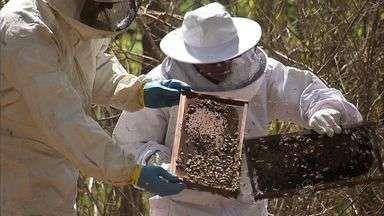 Seca provoca baixa na produção de mel - Com a seca, abelhas deixam região mais árida.