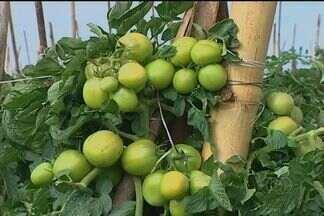 Catalão tem investido na produçaõ de tomate - Plantação tem conquistado a preferência dos compradores de grandes centros consumidores.