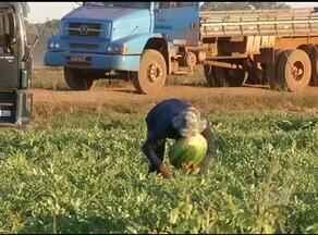 Começa colheita de melancia em Lagoa da Confusão - Começa colheita de melancia em Lagoa da Confusão.