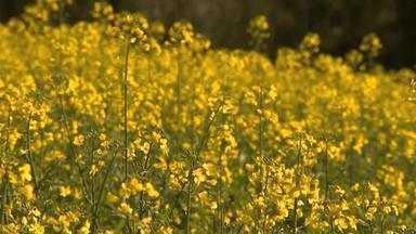 Canola é opção para rotação do solo no cultivo de inverno - Assista ao vídeo.