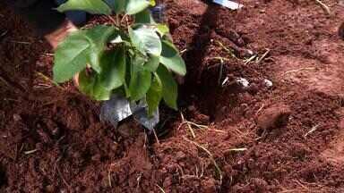 Saiba como escolher a melhor muda de árvore frutífera - Assista ao vídeo.