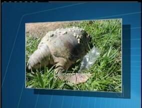 Tartaruga é encontrada morta em praia de Macaé, no interior do RJ - Espécie do tipo cabeçuda foi encontrada em decomposição.Animal será enviado para Centro de Triagem em Cabo Frio.