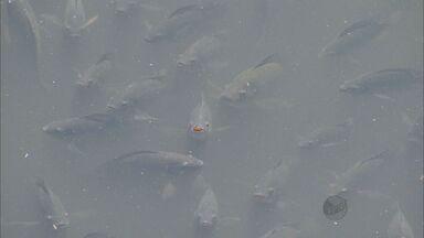 Volume baixo do Rio Piracicaba ameaça cardumes de peixes - Volume baixo do Rio Piracicaba ameaça peixes. Muitos estão morrendo por falta de oxigênio.
