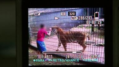Pai de garoto atacado por tigre pode responder por lesão corporal culposa - Ele teria permitido que o filho ultrapassasse o limite de segurança na jaula do animal.