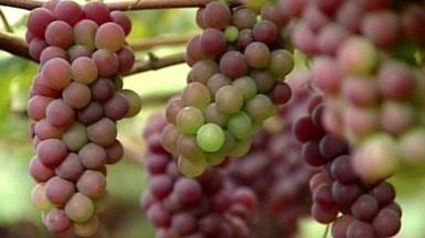 Santa Teresa, no Noroeste do ES, se prepara para a Festa de Uva e do Vinho - A cidade está pronta para receber os turistas e os preparativos começam nas propriedades rurais.