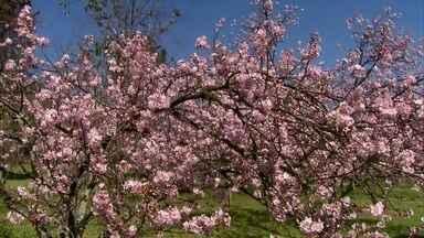 Parque do Carmo recebe o Festival das Cerejeiras - No Japão, a florada das cerejeiras, marca o período do fim do rigoroso inverno e o início da primavera. Saiba ainda como vivem e o que fazem, à noite, os bichos do zoológico de Sorocaba.