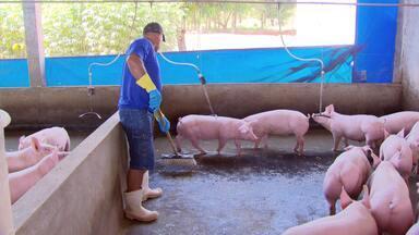 Fazendeiro transforma dejetos de porcos em energia - Gás metano, proveniente das fezes dos porcos, é usado para gerar eletricidade em fazenda do Mato Grosso do Sul