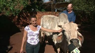 """Casal de Guaporema tem bicho de estimação de mais de 600 quilos em casa - Eles criam a vaca chamada """"Estrela"""" como se fosse um animal de estimação."""