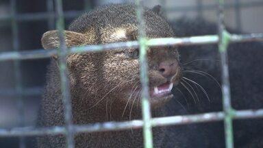 Batalhão ambiental captura gato-do-mato na Granja do Torto - O batalhão ambiental capturou um gato-do-mato, no jardim da residência oficial da Granja do Torto.