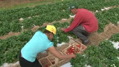 Variações no tempo atrasaram colheita do morango no noroeste do Paraná - Mesmo assim produtores não estão preocupados porque estão conseguindo colher uma boa safra