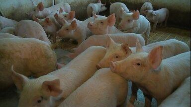 Queda no preço do milho ajuda criadores de suínos do RS - Custo de produção caiu, enquanto a carne está bem valorizada.