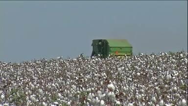 Colheita do algodão está atrasada em MT - Os agricultores já pediram ao Ministério da Agricultura o adiantamento do início do período de vazio sanitário no estado.