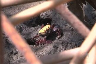 Moradores se únem para ajudar caranguejos em área inundada, no sul da Bahia - Banco de areia impedia a passagem dos animais.