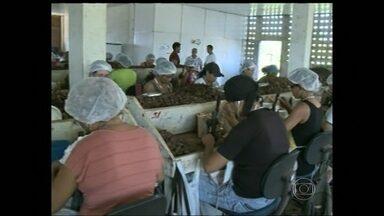 Grupo de extrativistas do Amapá monta cooperativa para melhor o preço da castanha - Cooperativa criada por um grupo de extrativistas do Amapá ajuda na exportação da Castanha do Pará. O grupo vende também azeite e farinha.
