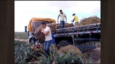 Colheita de abacaxi pérola diminui, mas não preocupa produtores do ES - Fruto está custando o custo do preço. Marataízes é o maior produtor de abacaxi desta variedade , no Espírito Santo.