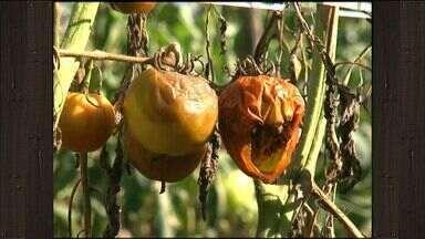 Produtores de tomate do ES esperam cobrir os prejuízos do início do ano - Plantações inteiras foram perdidas depois que uma praga atingiu as lavouras.