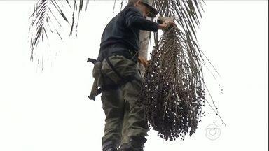 Produtores de SP começam colher frutos da palmeira juçara - Entramos na época em que a palmeira juçara começa a dar frutos, em SP. O cultivo da planta é uma atividade vantajosa para o agricultor, que consegue, que explora economicamente uma árvore nativa e evita a extração ilegal de palmito.