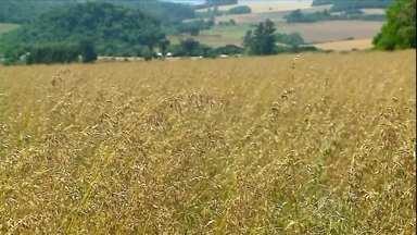 Excesso de chuva deve prejudicar a safra de aveia no Rio Grande do Sul - A estimativa da Emater era de uma colheita de 350 mil toneladas de aveia, mas o número deve ser 20% menor. O estado é o principal produtor do cereal.