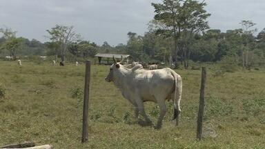 Inicia no Amapá a campanha de vacinação contra a febre aftosa - Inicia neste sábado a campanha de vacinação contra a febre aftosa no Amapá. A meta é imunizar cerca de 310 animais, entre bovinos e bubalinos.