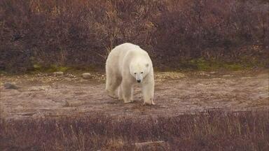 Renata Ceribelli visita cidade que tem mais urso polar do que gente - A Renata Ceribelli foi visitar a cidade que tem mais urso polar do que gente. A cidade tem guardas armados, câmeras espalhadas por todo canto para proteger a população e os turistas.