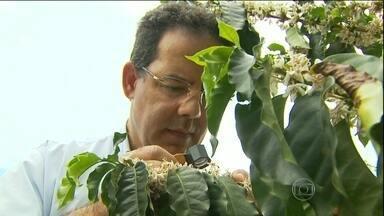 Produtores de café estão animados com a próxima safra em MG - Os produtores de café no sul de Minas Gerais estão um pouco mais otimistas com a próxima safra. Tudo porque, com a chuva dos últimos dias, a terceira florada deixou os cafezais pintados de branco.