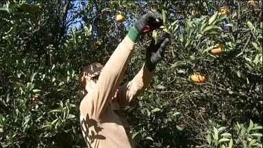Colheita da tangerina anima agricultores de SP - Os produtores de tangerina de São Paulo estão animados com a colheita. A estiagem prolongada não atrapalhou a produção.