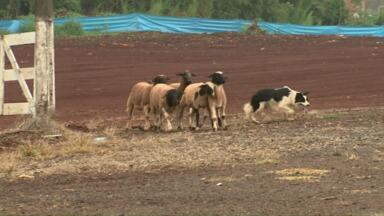 Cães participam de competição internacional em Corbélia - As provas vão até domingo (30).