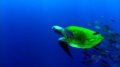 Litoral nordestino é o berço da desova das tartarugas marinhas - As belas praias do Nordeste abrigam a desova das tartarugas marinhas. Sergipe é o estado campeão na preservação das espécies.