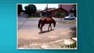 Cavalos soltos causam perigo nas ruas de Paranavaí - Apesar da reclamação de moradores da cidade, os cavalos soltos pelas ruas da cidade, ainda continuam sendo um problema a ser resolvido.