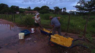 Reprise: Pequi sustenta a vida de muitas famílias no Norte de Minas Gerais - Fruto garante renda para o ano todo em algumas cidades. Tradição vem de muitas gerações.
