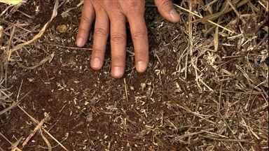 Veja como limpar o pasto de braquiária para plantar outro capim - Agrônomo explica que muitas vezes, o herbicida usado mata apenas a planta. É preciso aplicar outro produto para impedir a germinação das sementes que estão no solo.
