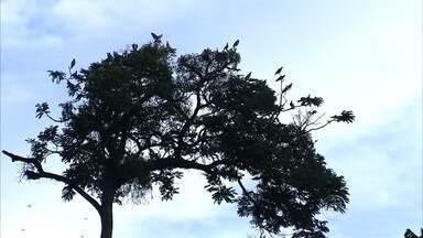 Propriedades rurais da região de Jundiaí sofrem com invasão de pássaros - A tranquilidade acabou nas plantações de uva da região de Jundiaí (SP), uma das maiores produtoras do estado. Propriedades rurais estão sofrendo com uma invasão de pássaros.