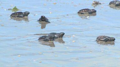 Projeto acompanha postura de ovos de tartarugas de couro - Biólogos do Delta do Rio Parnaíba, entre o Maranhão e o Piauí, monitoram espécie de tartaruga ameaçada de extinção, ajudando a promover sua reprodução