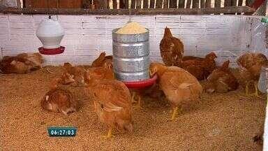 Com seca, agricultores partem para a criação de galinhas - Criação é alternativa em cidades do interior