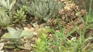 Artesã utiliza plantas suculentas como fonte de renda em Visconde de Mauá - Raizes e folhas da espécie são diferentes do normal; tipos mais conhecidos são os cactos;