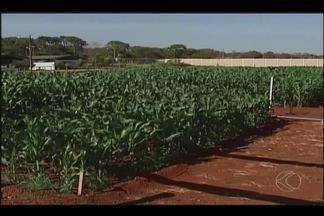 Produtores rurais de Uberlândia conhecem produtos que estarão na Femec - Para os produtores conhecerem os produtos foi montado um campo experimental para o cultivo de variedades de soja e milho.