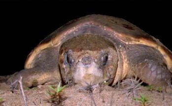 Desova de tartarugas chama a atenção de banhistas de Regência, no Norte do ES - As tartarugas são protegidas pelo Projeto Tamar, que fica no local.