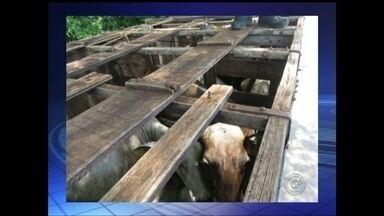 Animal morre por desidratação em caminhão abandonado com 20 bois em Marília - Um caminhão carregado com vinte bois foi abandonado na Rodovia BR-153, entre Marília e Guaimbê (SP), nesta terça-feira (20). Um dos animais acabou morrendo por causa do forte calor e da falta de água. Este foi o segundo caso em dois dias na região Centro-Oeste Paulista.